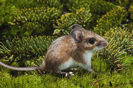 The Deer Mouse