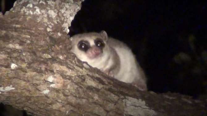 The Fat-Tailed Dwarf Lemur
