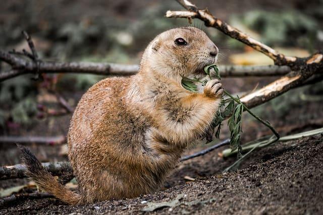 The Ground Squirrel